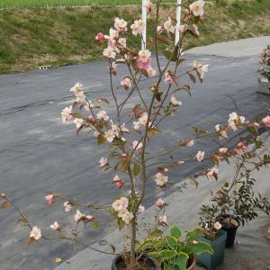 原種チューリップが咲いた🌷