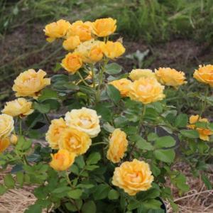 いま見頃の鉢バラ