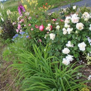 花壇のバラのシュート