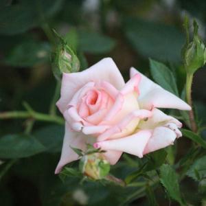 ミニ薔薇💕