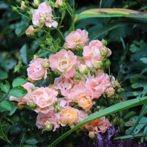 アプリコット〜オレンジ系の花