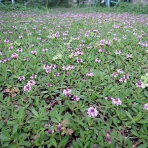 ヒメツルソバが咲きました