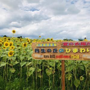 丹生湖の向日葵