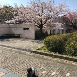 まだ桜満開