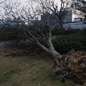 街路樹倒伏