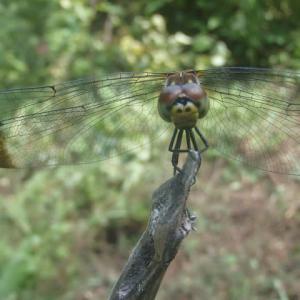ノシメトンボ(翅の先端が黒いやつ)