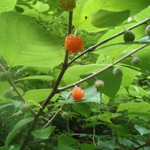コウゾの実が生っていました。