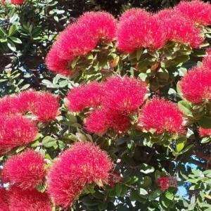 クリスマスの花ポフツカワは、オーストラリアでも咲いていた?