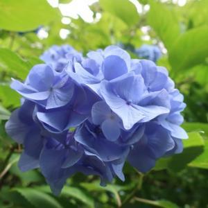 青に魅せられる(@6月18日、北鎌倉/明月院)