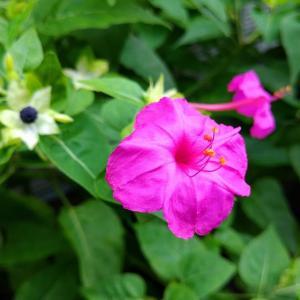 夏の夕方の花