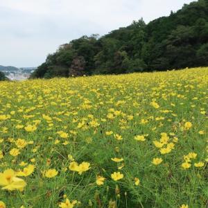 レモン色に輝く(@9月22日、くりはま花の国(神奈川県横須賀市))