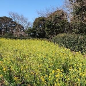 春の黄色(@京急久里浜駅~YRP野比駅 一駅ウォーキング)