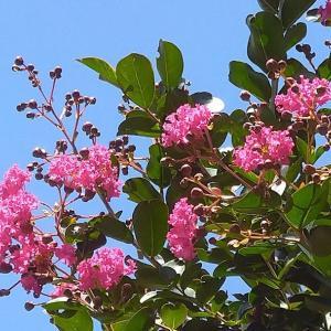 まさに夏の花