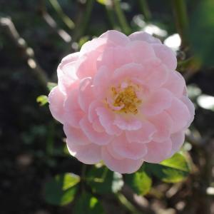 バラの園にはまだ早い(@9月20日、横須賀/ヴェルニー公園)