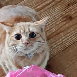 【保護猫】もう大人なのか(;ω;)【うに】