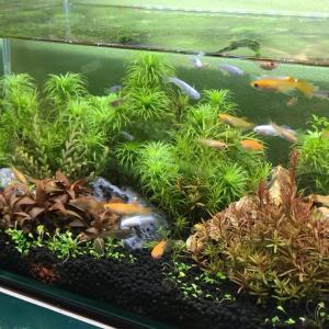 デスク横の熱帯魚水槽