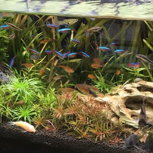 デスク横の熱帯魚水槽パート2