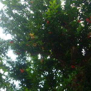 タコさんウインナーの木