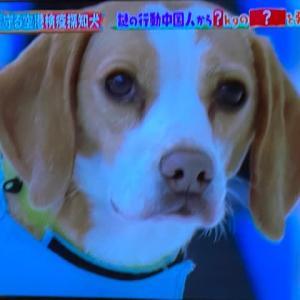 賢いビーグル犬!!