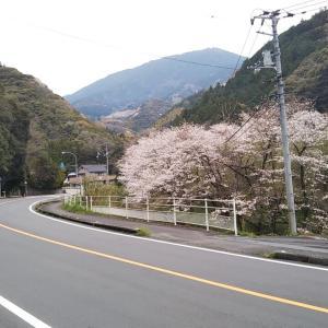 曇り空の光満の桜