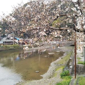 吉田町桜橋~柳橋付近で桜散策