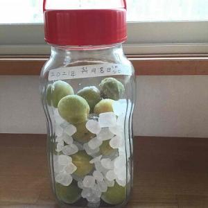 梅シロップ 子供とつくるなら梅は冷凍しておけ