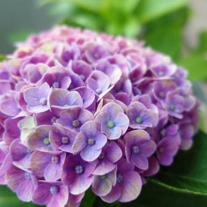 紫陽花 ありがとう