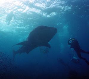 ジンベイザメに会えた 「クロちゃんへ至る道」⑲