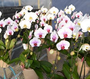 胡蝶蘭のミックスが順調に開花が進んでおります♪