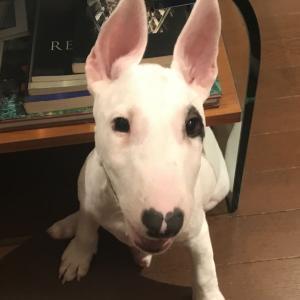 【子犬の躾】うちにきて42日目 ~ピィ子の育児日記(その6)~ 【進行中:トイレ/伏せ】