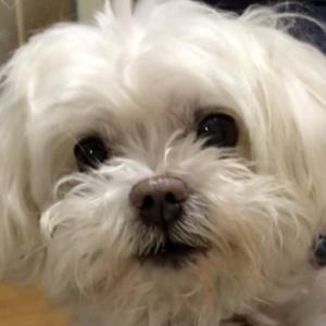 【震えていた子犬】トイプー専門店に1匹だけいたチワマル ~くぅーたんがうちに来るまで~