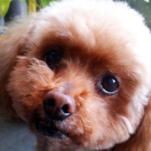 【買ってきちゃった】かわいい系の仔犬にメロメロ ~さくらがうちに来るまで~【突然の出会い】