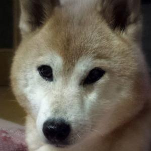 【思い続けた日本犬】一大決心、よし!飼おう! ~さくらがうちに来るまで~