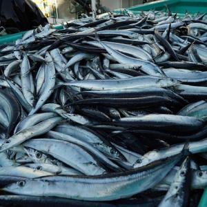 【悲報】サンマ、100年に一度の不漁「食べて応援!」「コイツいっつも不漁やな」「日本人ってニシンから何も学んでないよな?」2chなんJサンマ漁まとめ