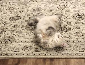 ペットと暮らすにはラグは不要?!毛足の長いラグの結末。。
