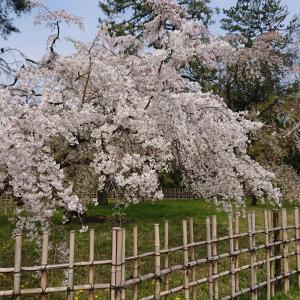 お仕事で春の京都へ。