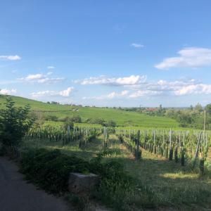 #フランス #アルザス 天気の良い時に、ぶどう畑の中を散歩しながらワイナリー巡りへ