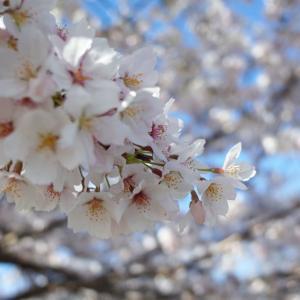 4月9日は父と妹と桜