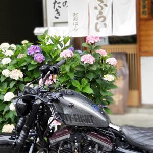 小田原城の紫陽花祭り