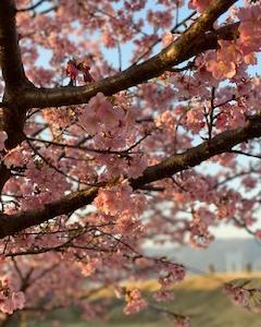 さくらと桜