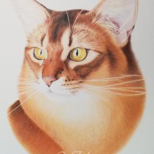 ◇ ソマリ ルディ ◇  猫 色鉛筆肖像画