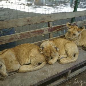 超危険!?猛獣たちと触れ合える世界一危険な動物園!!