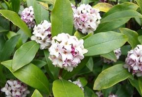 沈丁花の匂い