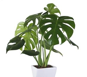 懐かしい観葉植物