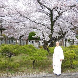 椿(つばき)柄の帯はどんな季節に締める?満開の真如堂の桜の下で!