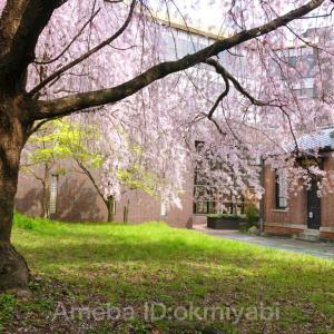 病院受診の道すがら、枝垂れ桜に癒されて!茶系畳縞着物に白地ベージュ格子柄の帯