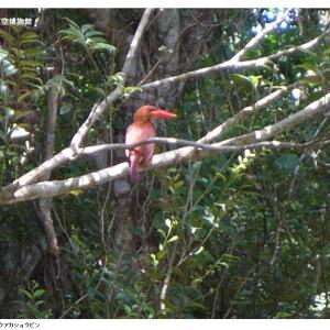 憧れの赤い鳥、リュウキュウアカショウビン