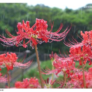 驟雨の中で沖縄のヒガンバナを