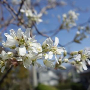 ジューンベリー開花とメダカの産卵