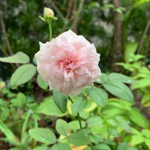 キクバナイグチ(?)とカボンバの花